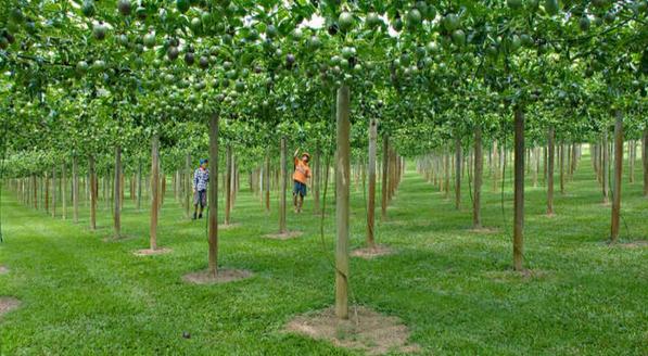 pohon markisa